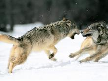 Grey Wolves ©A-GC.com (Public Domain)